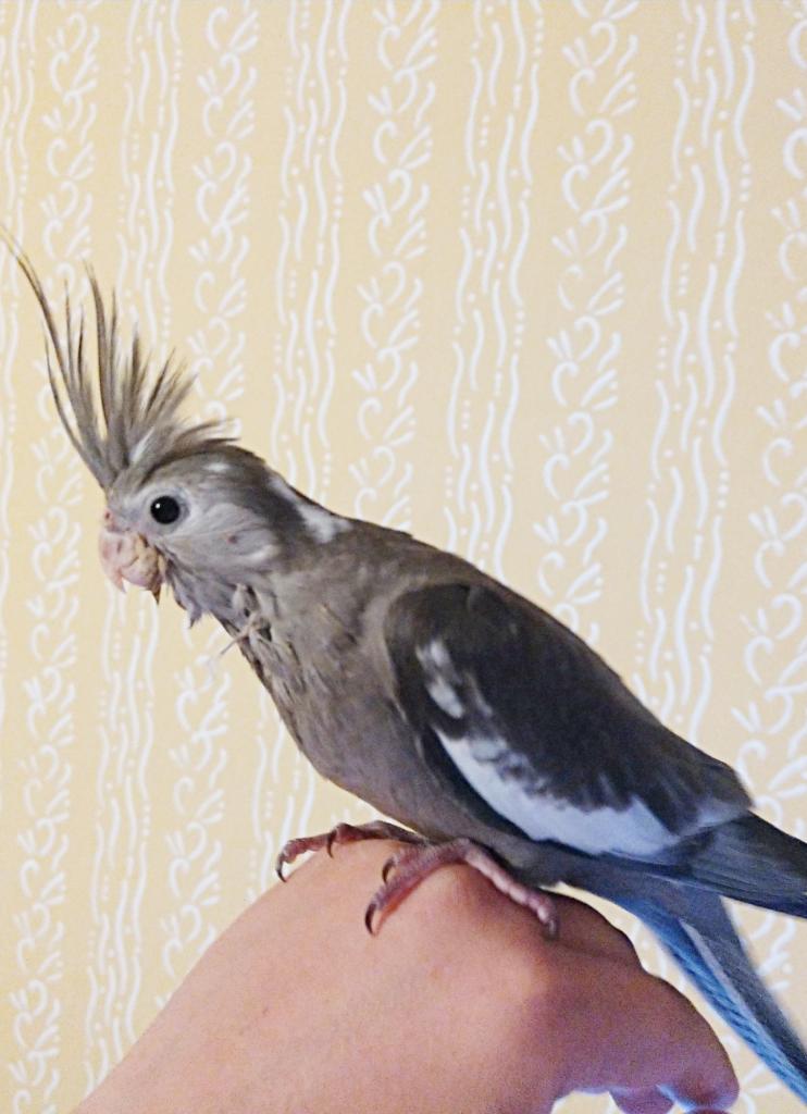 Młoda nimfa białogłowa Hodowla Nimf